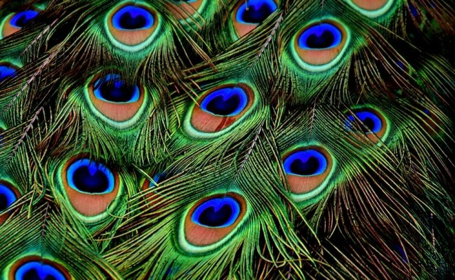 peacock-feathers-3013486_640.jpg